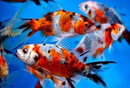 Offerta pesci rossi mix for Dove comprare pesci rossi