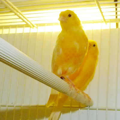 vendita canarini Piossasco (TO)