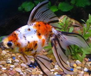 vendita pesci d'acqua fredda Piossasco (TO)