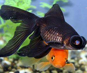 Vendita pesci rossi torino d 39 acqua fredda e da laghetto for Contenitore per pesci