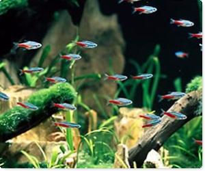 Pesci e piante tropicali per acquari Torino - Il Pellicano Piossasco