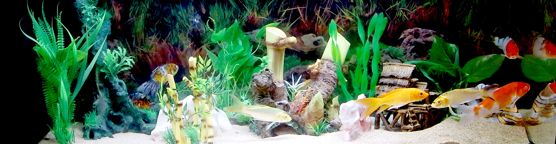 Vendita pesci rossi torino d 39 acqua fredda e da laghetto for Piante da laghetto